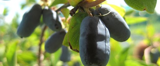 the information page about honeyberries-- from the University of Saskatchewan where the berries are being developed to grow in some of the harshest growing climates on the planet...
