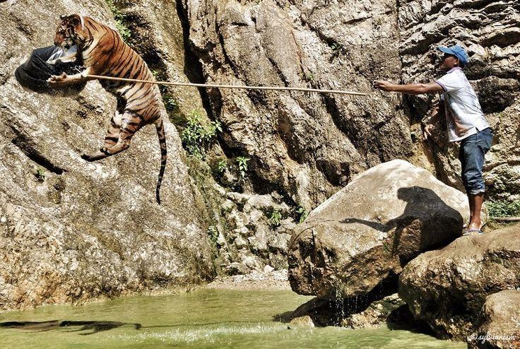 Тигры в монастыре на западе Таиланда  Авиабилеты Москва - Бангкок от 24000 руб.  Это серия фотографий посвящена сытым и довольным тиграм монастыря Ват Па Луангта Буа Янасампанно на западе Таиланда. Одно из немногих мест на земле где ради вареной курицы кошачьего корма и человеческой заботы эти величественные животные готовы забыть о своих инстинктах и дают потрепать себя за ухом.   Поражает насколько спокойно 250-килограммовое животное относится к присутствию человека рядом с собой. Игры с…