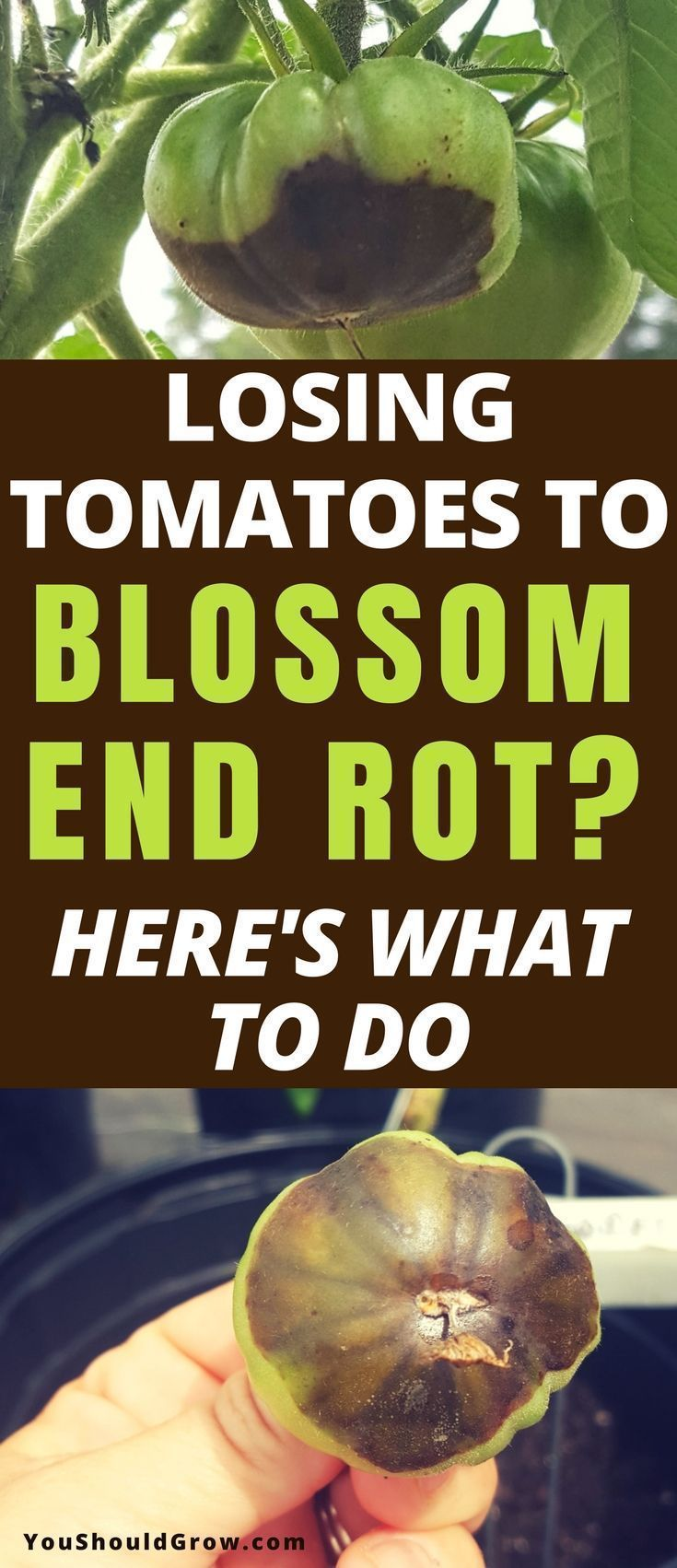 Growing tomatoes: How to deal with blossom end rot. Gardening should be fun! Don't stress over losing homegrown tomatoes anymore. Find out what treatments work and what doesn't. Gardening For Beginners | Organic Gardening | Backyard Vegetable Gardens #gardeningtips via @youshouldgrow #organicgardening #tomatosgardening