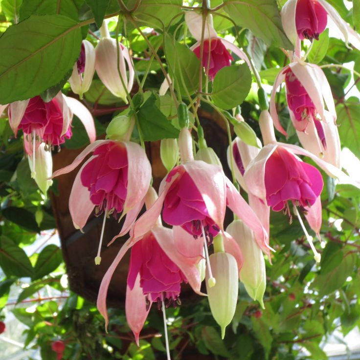 Best Hanging Basket Flowers For Hummingbirds : Best images about fuchsia on hummingbirds