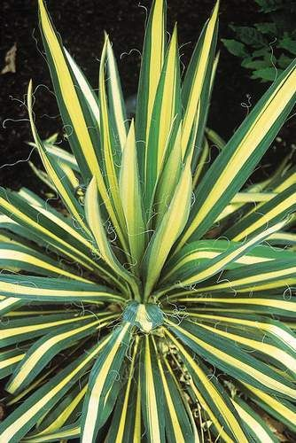☀ Full sun to part sun. [2-3' tall]. USDA Hardiness Zones 4-10. Blooms early to mid season.  Yucca filamentosa 'Color Guard'. Adam's Needle. Sword-like bright creamy-yellow leaves with green edges