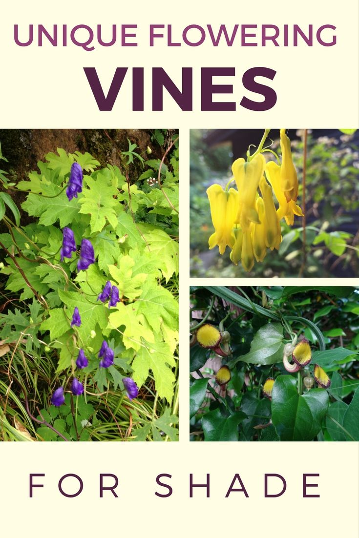 Discover some unique flowering vines for shade in this week's guest blog by Nita-Jo Rountree!