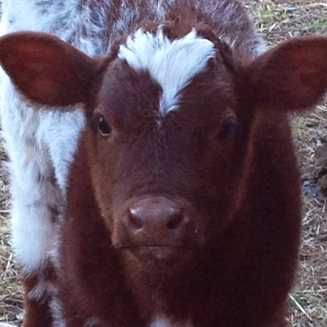 My son's new baby shorthorn calf, her name is Jazzy Monet
