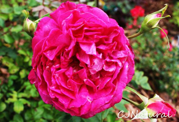 Wall Art Pink Rose, Pink Rose Digital Download, Florida Wall Art, Florida Digital Download, Beautiful Nature Photos, Best Nature Pictures