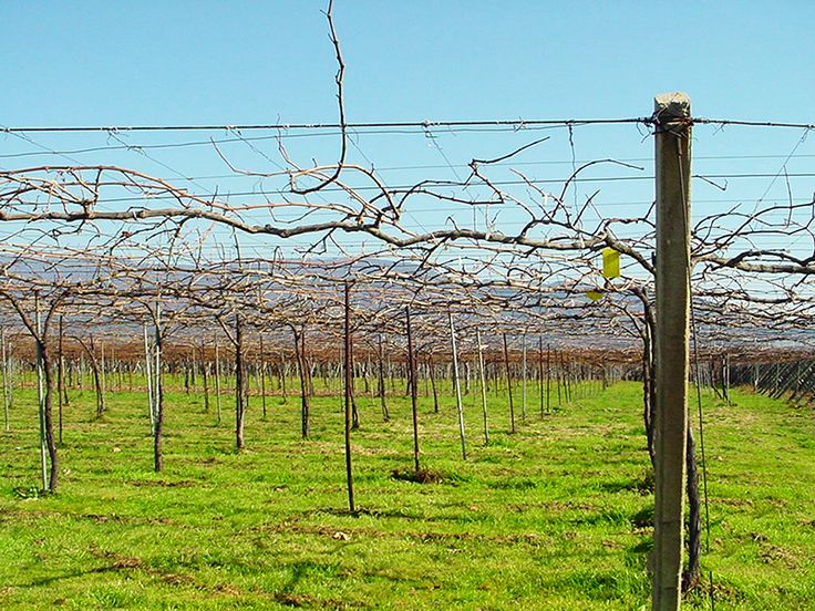 A vineyard of the Goichi Wine.