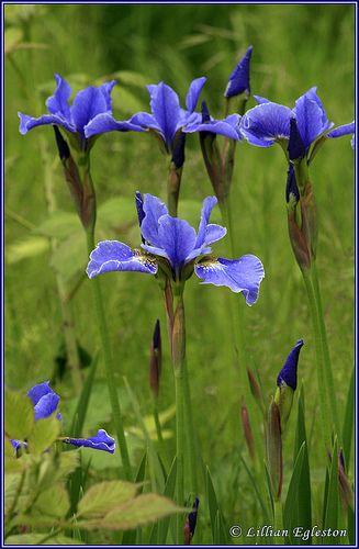 Siberian Iris - Photo by Lillian Egleston