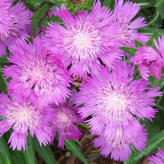 Honeysong Purple Stokes AsterLarge Bloom, Purple Passion, Honeysong Purple, Gardens Projects, Purple Stokes, Fabulous Flower, Pretty Flower, Plants Close, Gardens Plants