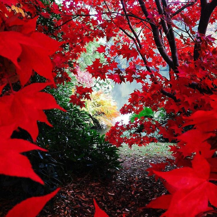 """Wow absolutely stunning autumn shot of Sheffield Park Garden by @the_marmalade_badger. Nice work! And just look at those reds!?  """"View through the vibrant red leaves! #sussex #sussexlife #autumn #red #leaves #autumnleaves #nature #vibrant #fall #sheffieldpark""""  #instagood #photography #beautiflgardens"""