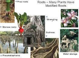 Aerial Roots Of Banyan Tree And Lotus Roots   Google Search
