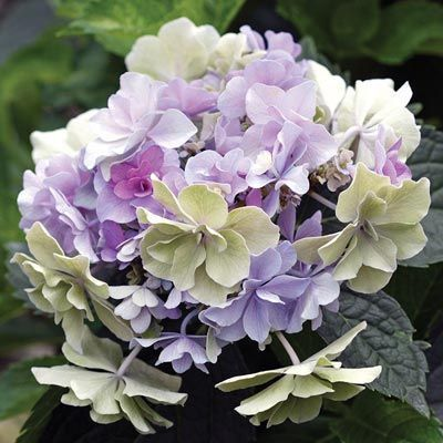 Felicity Hydrangea — Shrubs| Spring Hill Nurseries #frontgardenshrubs