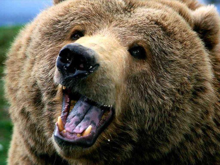 96b62932c3f254df0e3e99f4d5006bda--bear-p