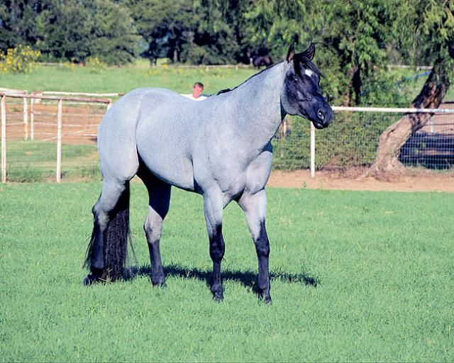 Beautiful Blue Roan...My Final Notice