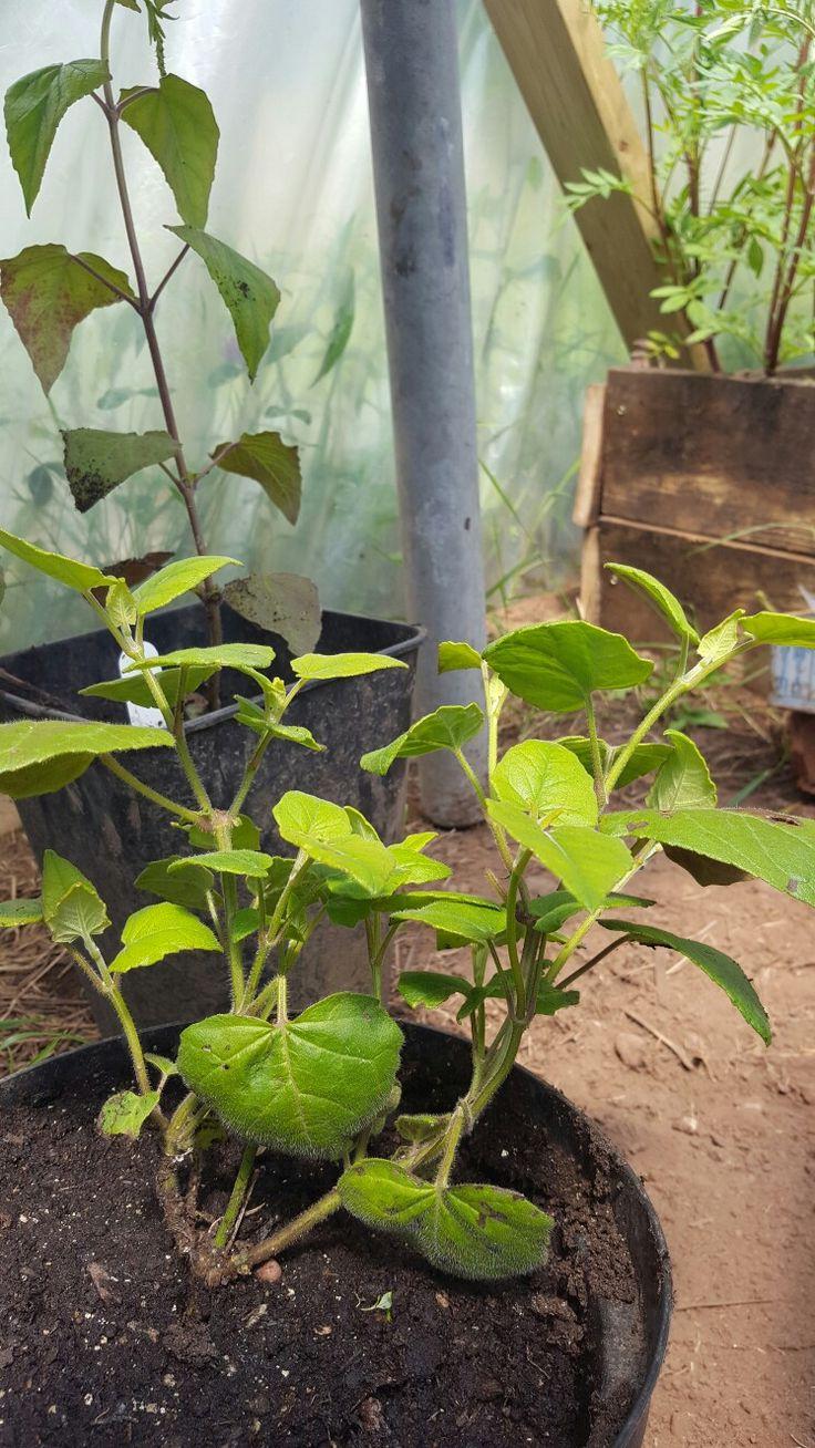 Calcarfolia