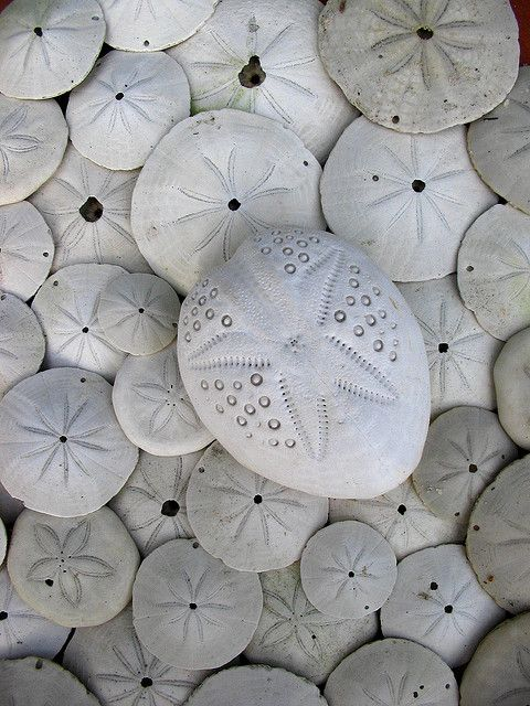 Sand Dollars (or sea cookie or snapper biscuit in New Zealand, or pansy shell in South Africa) refers to species of extremely flattened, burrowing sea urchins belonging to the order Clypeasteroida. || ©*omania*, via flickr
