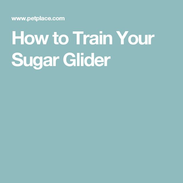 How to Train Your Sugar Glider