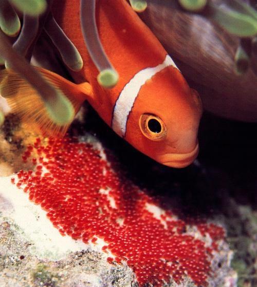 L'élevage d'un poisson apprécié : Amphiprion (le poisson clown). Aquarium récifal / aquarium marin / aquarium eau de mer - Reefguardian
