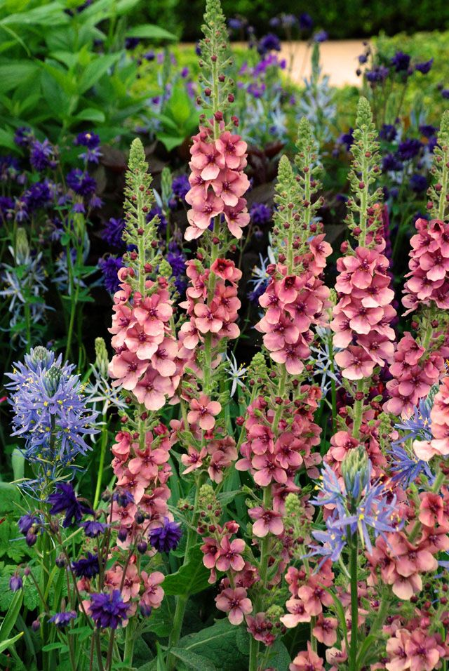 Verbascum with Camassia leichtlinii by Morgan Stanley Garden Chris Beardshaw RHS Chelsea 2015 Lisa Cox