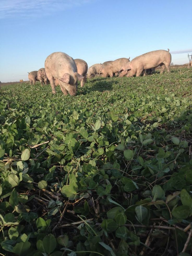 Pigs, out on open pasture grazing on fresh clover in the summer. non-GMO, pasture raised hogs. #PastureEggsEnPork #nonGMO #pastureraised #peepinc #chemicalfree #fertilizerfree #sustainablefarming #healthypigs #pork
