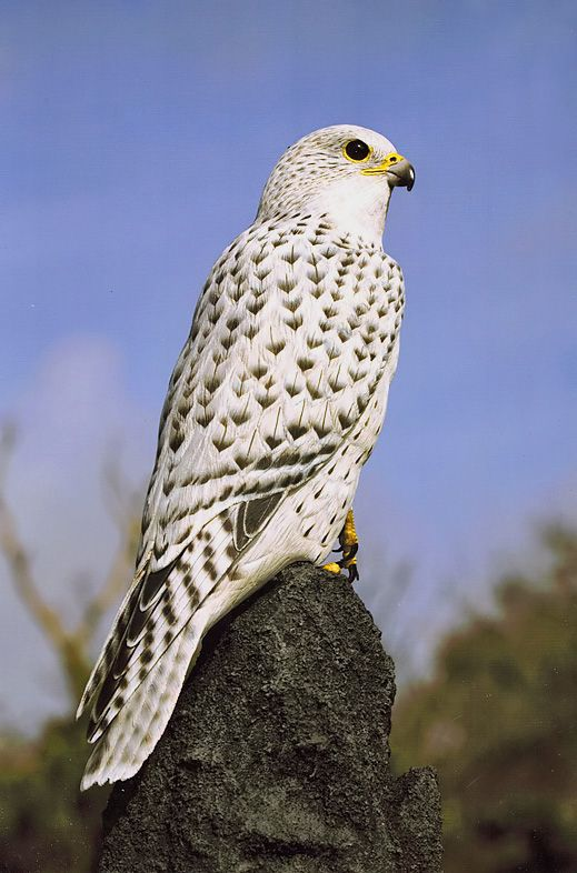 Gyrfalcon (Falco rusticolus) found on the arctic coasts and islands of North America, Europe and Asia