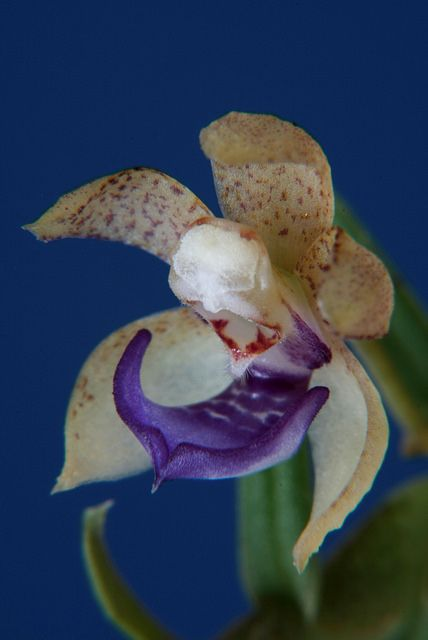 trainers from Costa  Rica world runners Dichaea species Orchid  review