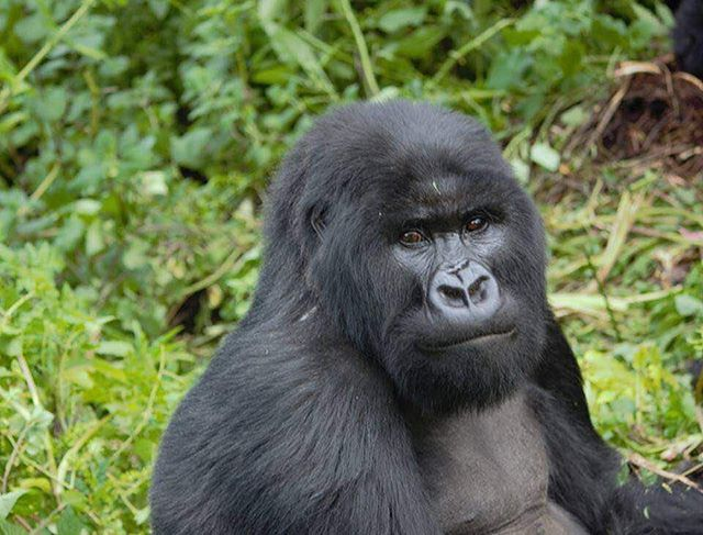 Meet Byishimo - one of the twins born to Nyabitondore in 2004 and named by His Excellence the President of Rwanda, Paul Kagame in 2005 at Gorilla naming ceremony (Kwita Izina). Byishimo is a twin brother to Impano.  #gorrillatrekking #1000hills #kwitaizina #remarkablerwanda #travel #holidays #sparkingtravelemotions