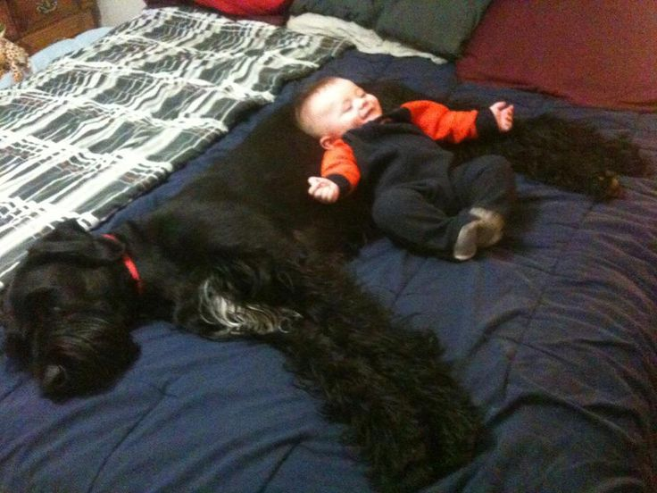 Giant Schnauzer- and they say they aren't good with kids!