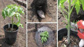 Suivez juste ces étapes : Voici Comment bien planter une tomate pour obtenir 1 m de plante …