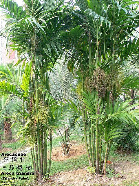 Les 61 meilleures images du tableau palmier sur pinterest for Plantes tropicales exterieur