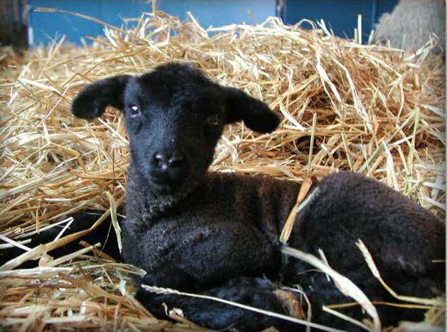 the black lamb