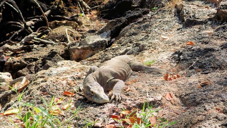 Komodo Sunbathing