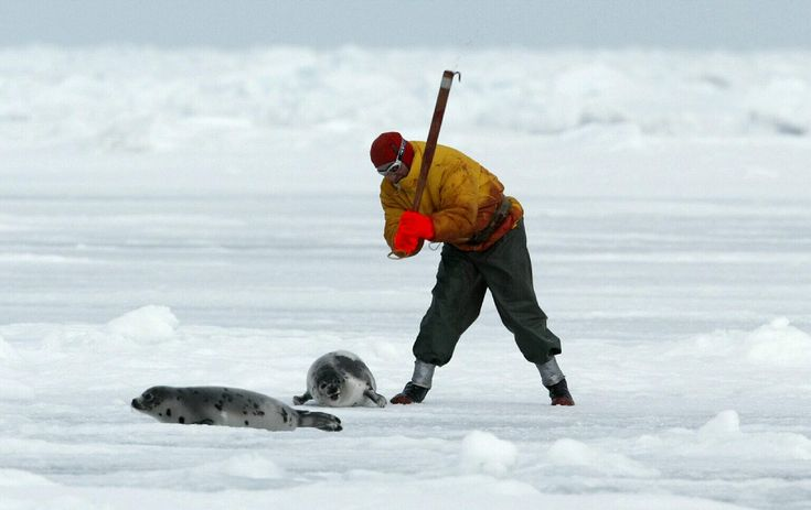 POLL: Should the Canadian Government bring an end to the annual seal slaughter? Shocking Video! » Focusing on Wildlife
