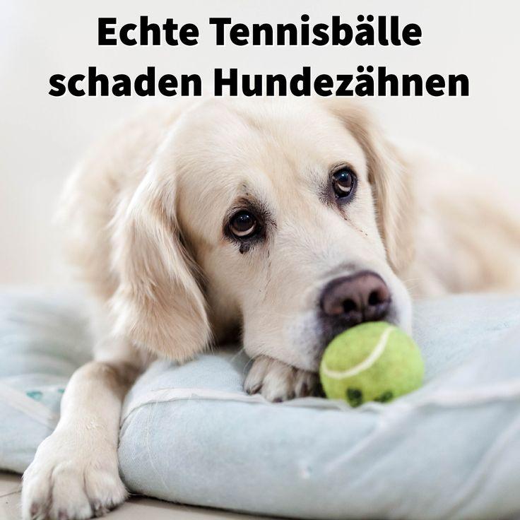 Echte #Tennisbälle schaden #Hundezähnen, weil die Glasfasern wie Schmirgelpapier auf den #Zähnen wirken #Hundespielzeug #Hundeball