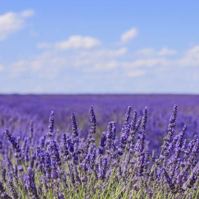 The Difference Between Ornamental Lavender & Culinary Lavender