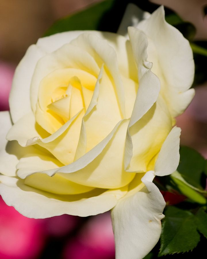 Yellow Rose by Mike Oberg