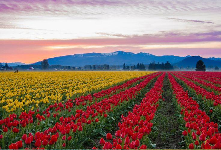 Campo de Tulipas Vale de Skagit, Washington, USA. Coloridos e encantadores, os campos de tulipas chamam a atenção em qualquer lugar do mundo. Em Washington, centenas de milhares de visitantes vão ao local no mês de abril, quando a Primavera dá as caras. A caminhada é feita por meio de um passeio de carro.