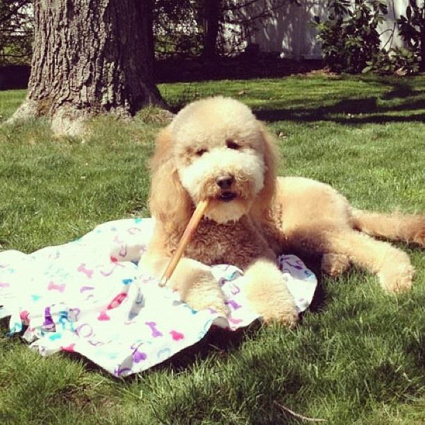 best 25 golden doodle dog ideas on pinterest golden doodles golden labradoodle and doodle. Black Bedroom Furniture Sets. Home Design Ideas