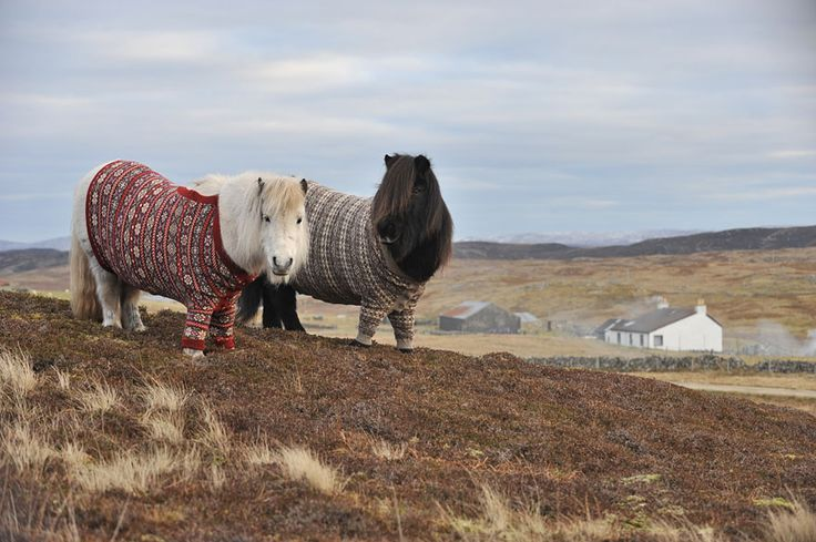 Lovely Shetland Ponies Dressed in Sweaters to Promote Scotland Fivla and Vitamin wore the custom-made red and brown sweaters, knitted by a local knitter Doreen Brown who made them out of Shetland wool. The success of the campaign was beyond expectations!