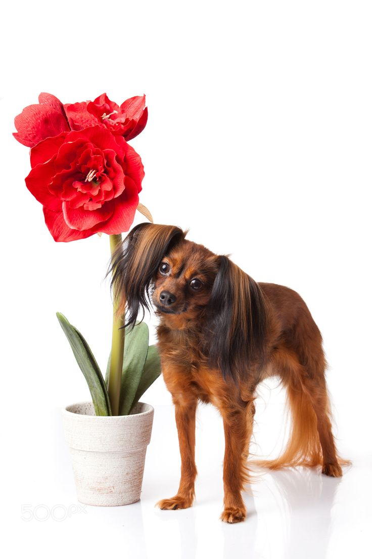 Russian Toy, Longhair - white background with Amaryllis flower