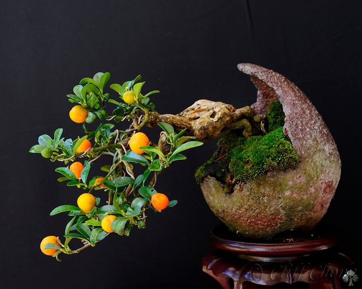 a shohin mini bonsai tree of 12 cm height its a citrus variety red orange fortunella. Black Bedroom Furniture Sets. Home Design Ideas