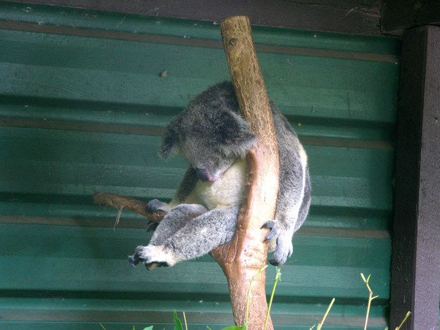 This perfectly-poised rester. | 21 Snoozing Koalas You Want To Snuggle With Right Now