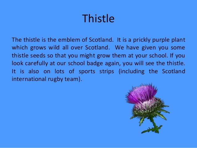 Scotland's National Flower