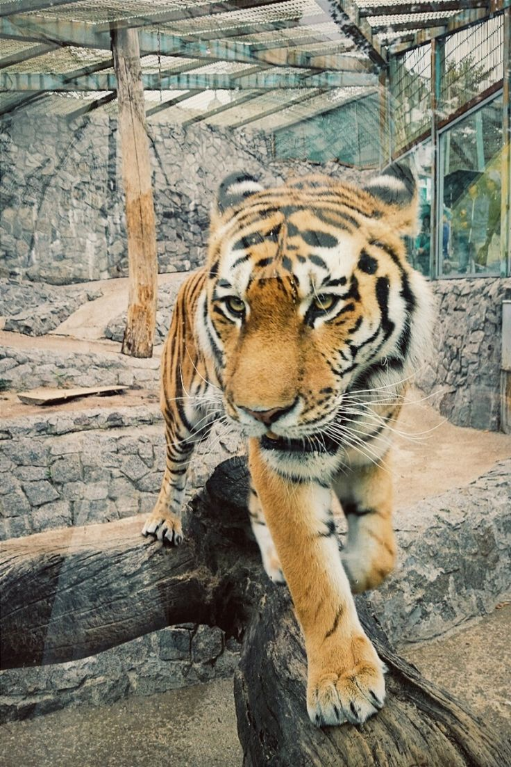 Tigers At The Zoo Vsco Grid Kattywhat A D V E N T U