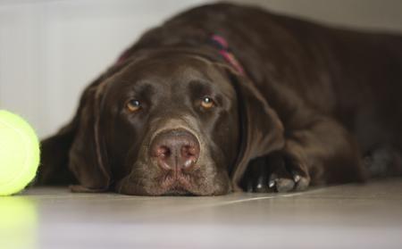 Annie the Labrador Retriever