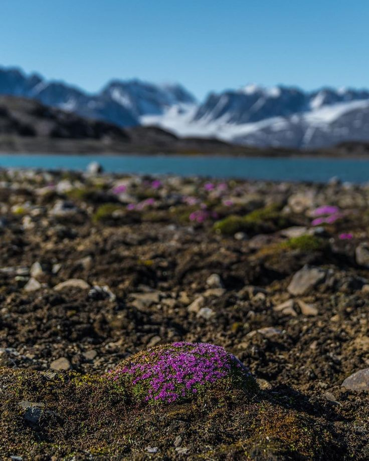 🌺🌿 Life always wins, even in the harshest environments with perpetual winter 😍🏔 #sonya7RII #Arctic #NorthPole [ Location: Svalbard, Norway ] #BurnTheBucketlist 🔥 Follow us on Facebook or Instagram @burn_the_bucketlist 😉