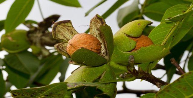 Skořápky, slupky i listy ořechů většina lidí vyhazuje, což je škoda