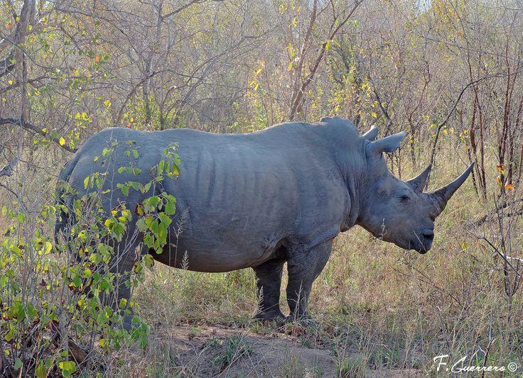 Rinoceronte blanco (Ceratotherium simum) fotografiado en el Kruger, Sudáfrica. Visita Naturaleza a Vista de Pájaro, blog sobre naturaleza y viajes.