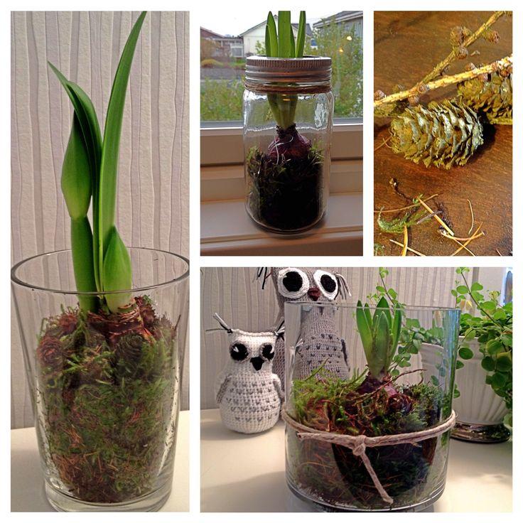 Pynta litt med #Svibel og #Amaryllis i vase, lykt og #Norgesglass.