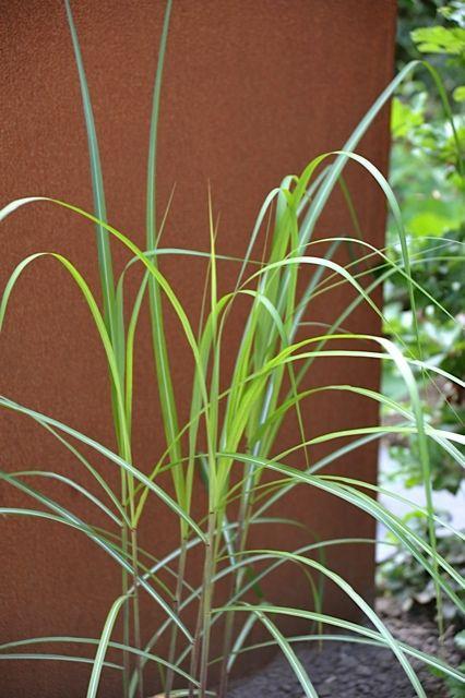 Miscanthus sinensis 'Ghana' Mooie verkleuring naar rood-bruin in de herfst
