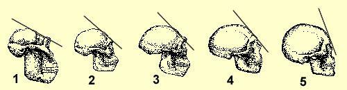 Les différents hominidés: Australopithèque, habilis, erectus, Neandertal, sapiens