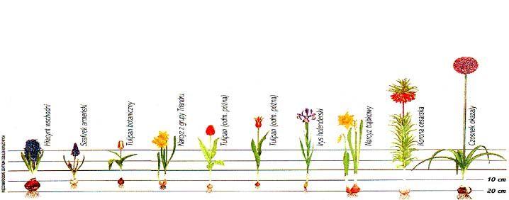 Kiedy I Jak Sadzimy Cebule Kwiatowe Rosliny Ozdobne I Inne Arabic Calligraphy